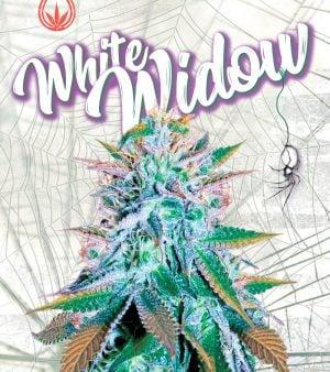 sonoma white widow