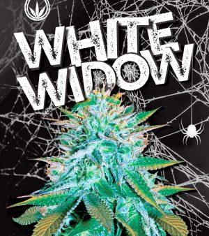 sonoma white widow autoflower