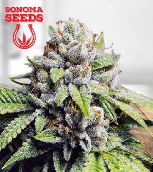 Fire OG Marijuana Seeds 1