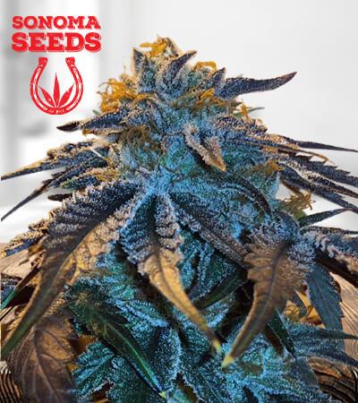 Master Kush Marijuana Seeds