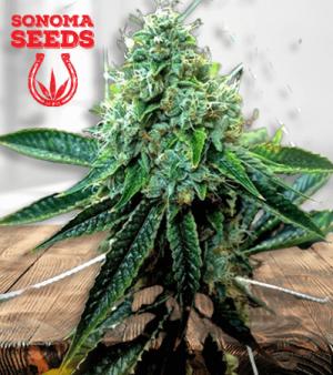 True OG Marijuana 1