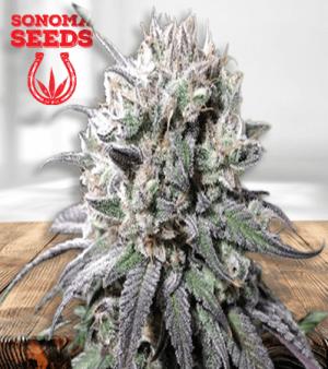 Zombie DF marijuana seeds 1