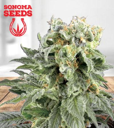 Angel OG Autoflower Marijuana Seeds
