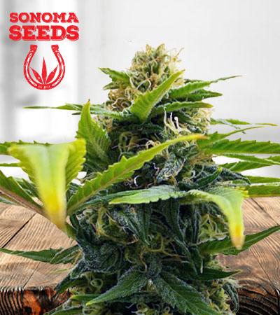 Auto Solomatic CBD Marijuana Seeds