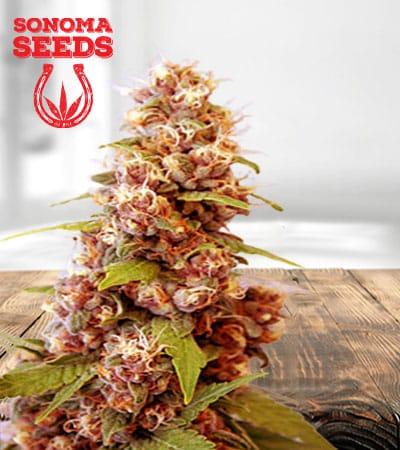 B 52 Feminized Marijuana Seeds