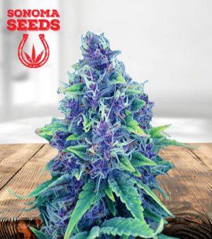 Blueberry Diesel Autoflower Marijuana Seeds