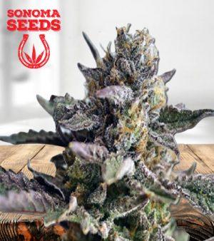 Blueberry Yum Yum Autoflower Marijuana Seeds
