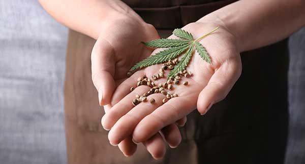 Buy Premium Cannabis Seeds