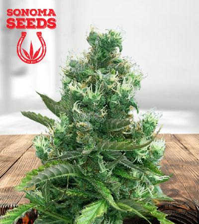 Cafe Racer Autoflower Marijuana Seeds 1