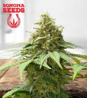 California Orange Autoflower Marijuana Seeds