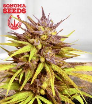 Cherry Blossom Feminized Marijuana Seeds