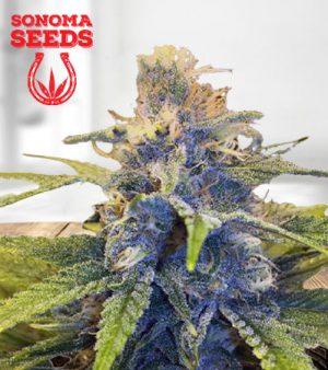 East Coast Alien Feminized Fast Version Marijuana Seeds