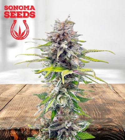 Ghost Bubba Feminized Marijuana Seeds