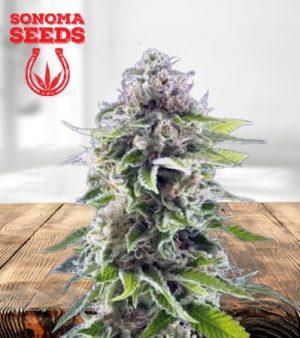 Ghost Train Haze Feminized Marijuana Seeds
