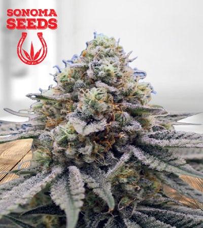 Gorilla Punch Feminized Marijuana Seeds