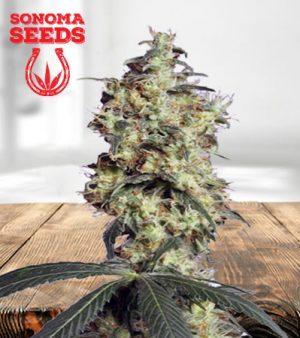 GrandDaddy Purple Autoflower Marijuana Seeds
