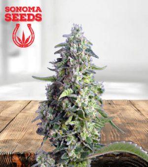 Hemlock Autoflower Marijuana Seeds 1