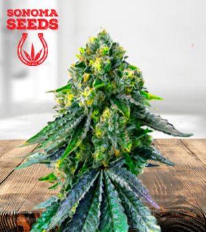Jack Herer Autoflower Marijuana Seeds