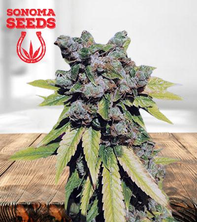 Lambs Breath Autoflower Marijuana Seeds