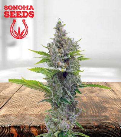 Misty Autoflower Marijuana Seeds