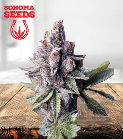 Morning Rose Feminized Marijuana Seeds