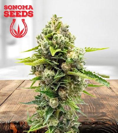 Northern Lights 10 Feminized Marijuana Seeds