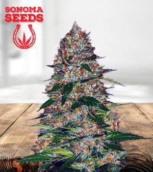 Northern Lights Autoflower Marijuana Seeds