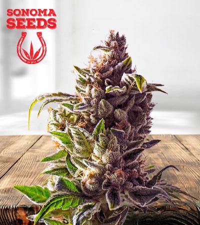 Pineapple Express Autoflower Marijuana Seeds