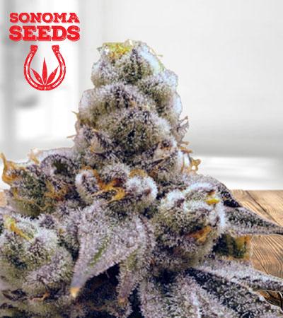 Purple Punch Fast Version Marijuana Seeds