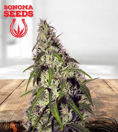 Revolver Autoflower Marijuana Seeds
