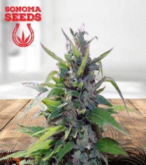 Sativa Star Feminized Marijuana Seeds