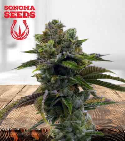 Sour Grape Feminized Marijuana Seeds