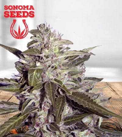 Sour Grapes Autoflower Marijuana Seeds