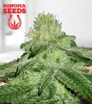 Sugar Kush Fast Version Marijuana Seeds