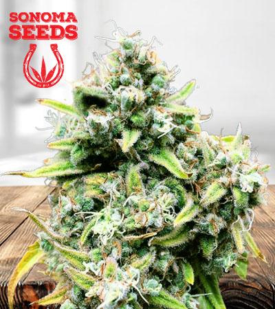 Train Wreck Autoflower Marijuana Seeds