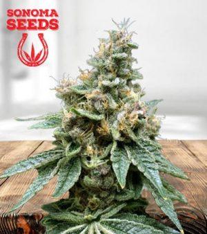 Tropicana Cookies Feminized Marijuana Seeds