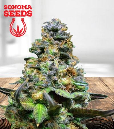 Yoda OG Fast Version Marijuana Seeds