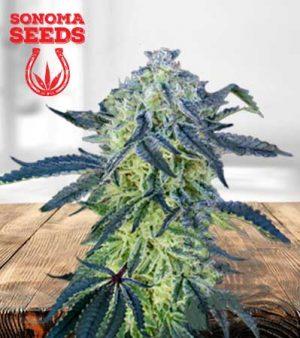 double scoop feminized marijuana