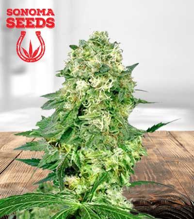flower bomb kush feminized marijuana