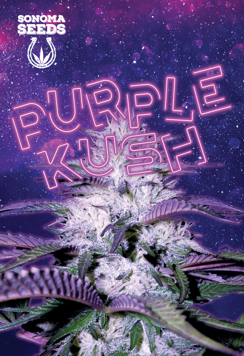 Purple Kush Autoflower Marijuana Seeds