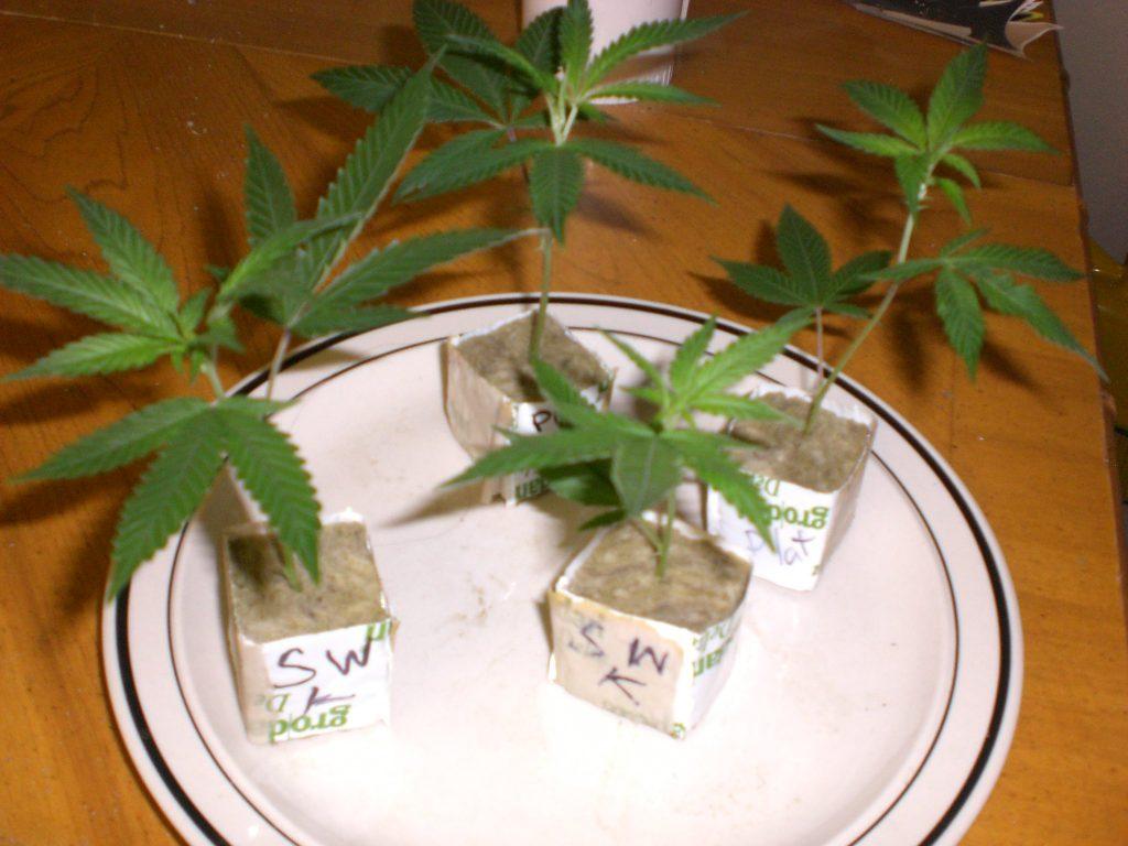 how to clone marijuana