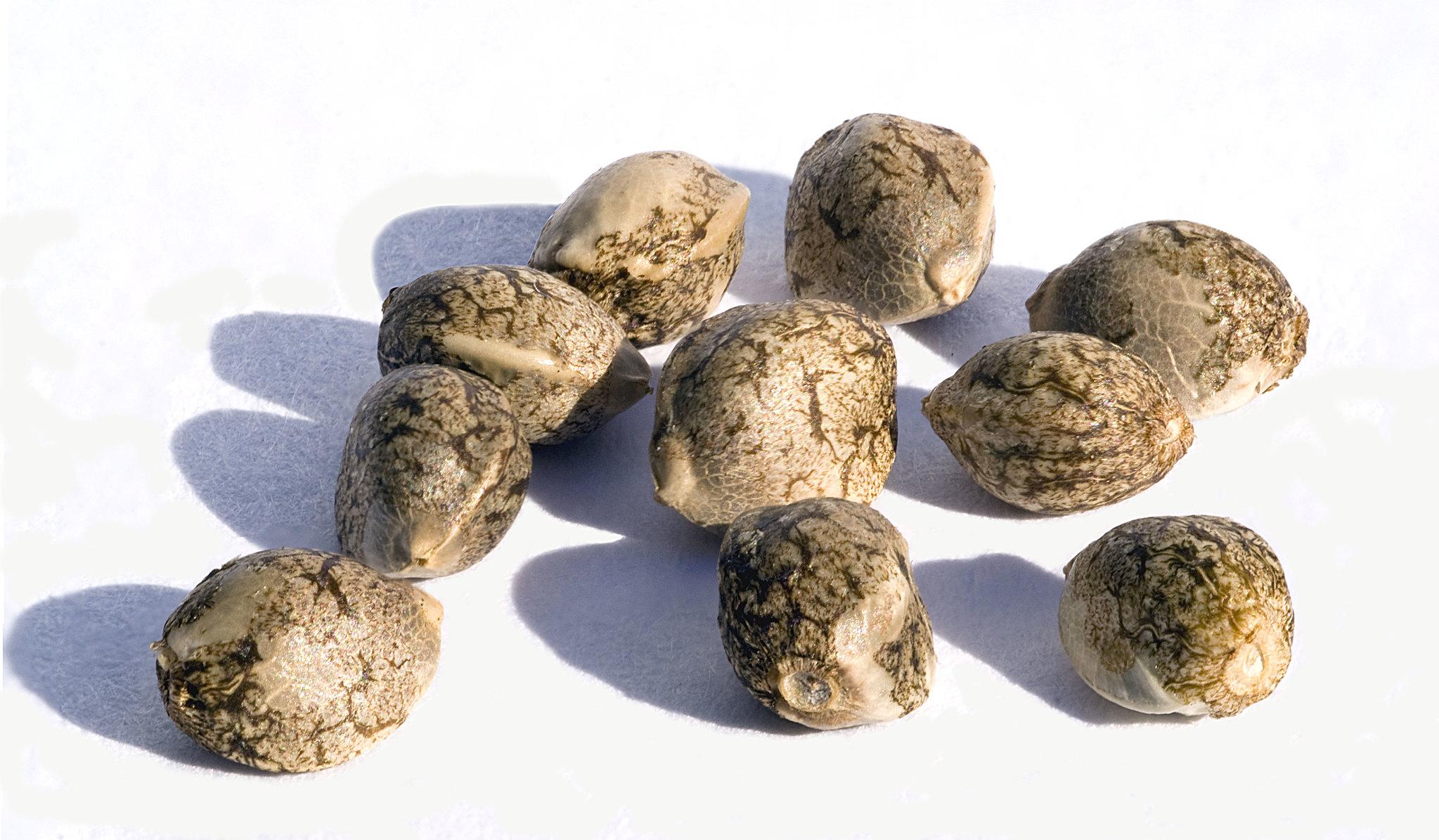 how to feminize marijuana seeds
