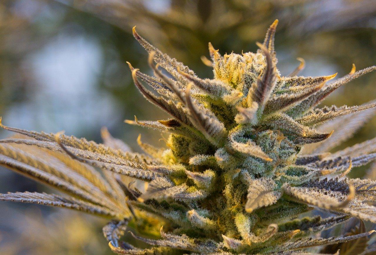 female marijuana plant identification